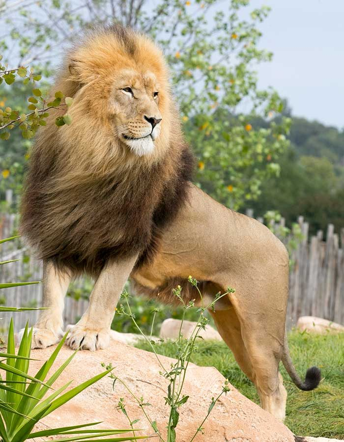 beauval_lion